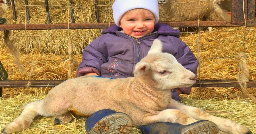 Lambing live event is a chance to greet new life on the farm