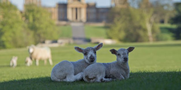 Lamb Buggy Tours at Blenheim Palace