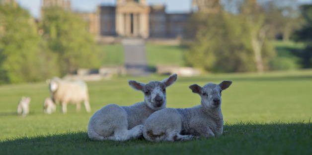 Lamb Buggy Tours at Blenheim Palace
