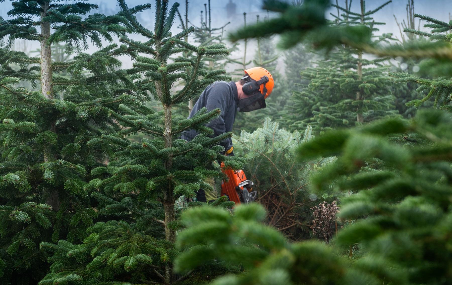 Blenheim Christmas trees.